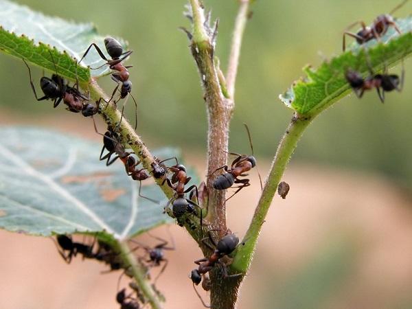 Как избавиться от нашествия муравьев