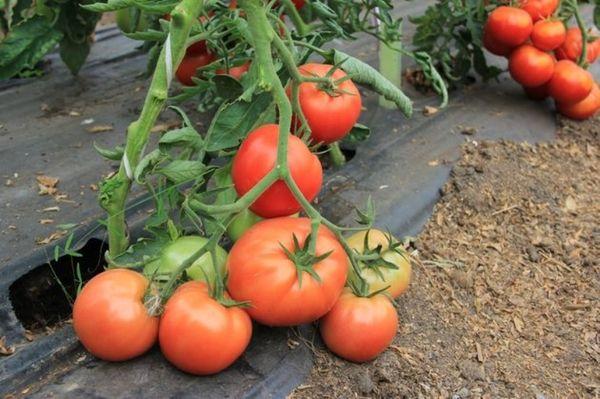 Описание и характеристики сорта томата Колхозный урожайный