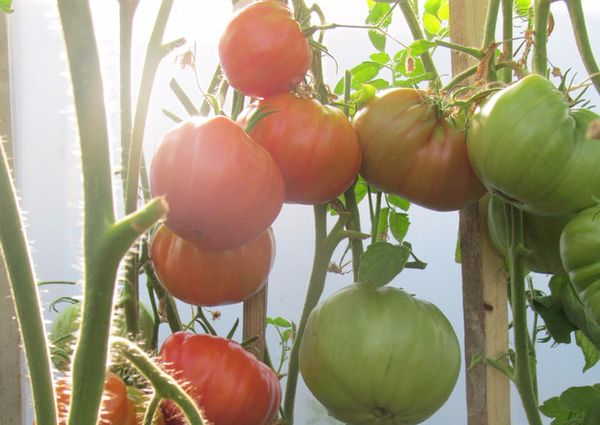 Условия выращивания помидор