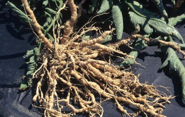 При галловой нематоде на корнях образуются наросты - галлы