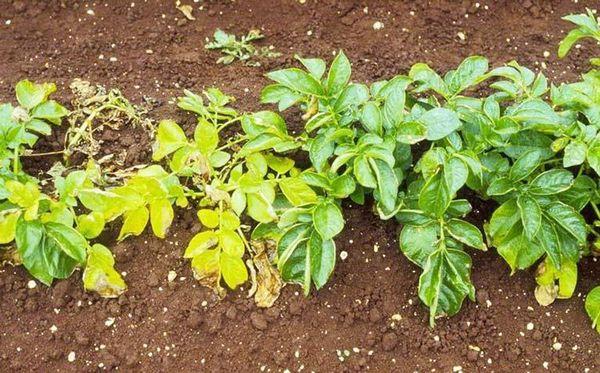 Пожелтение листьев снизу вверх - признак поражения золотистой нематодой