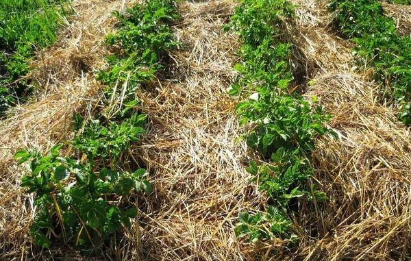 Нематодоустойчивый сорт картофеля необходимо выращивать не менее 2-х лет подряд