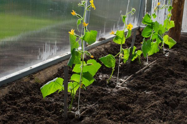 Что делать, если не растут огурцы в теплице