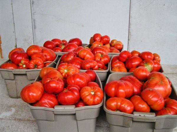 Свежесорванные томаты сорт Хлебосольный в ящиках