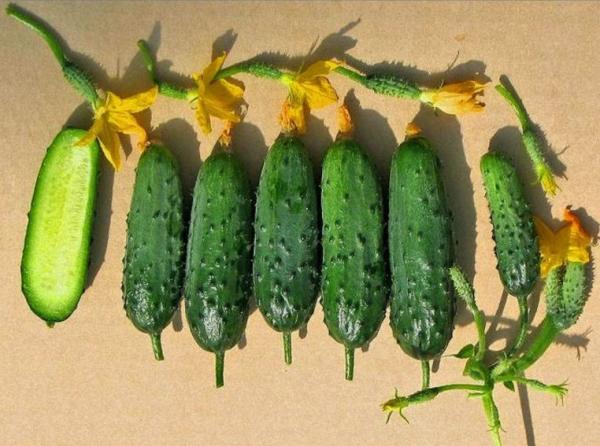 Сорт скороспелый, высокоурожайный, переросшие плоды не меняют цвет и плотность