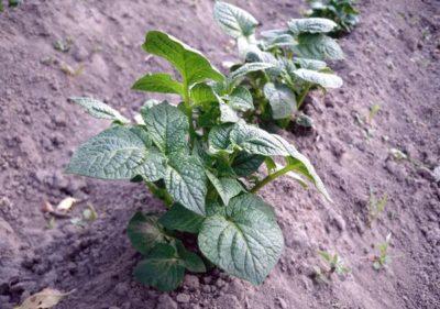 Правильное окучивание картофеля