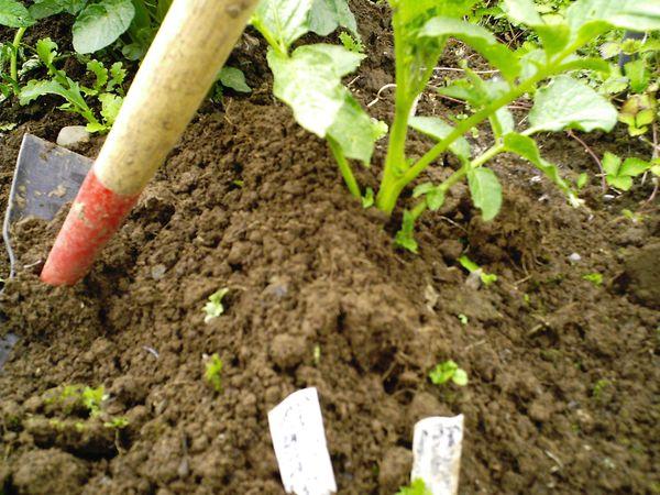 После окучивания куст картофеля начинает расти быстрее