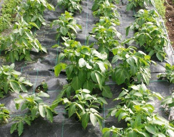 В окучивании нет необходимости когда картошка выращивается под пленкой