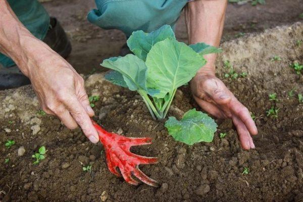 Помочь кочерыжке капусты удержать тяжёлую голову помогает окучивание