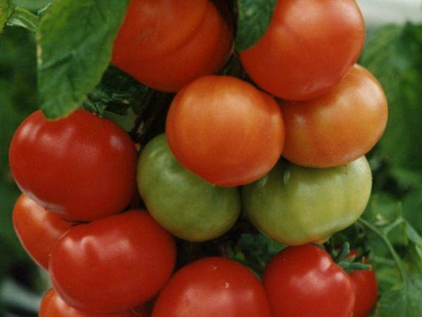 Томату не страшны перепады температуры и он будет давать урожай в любых условиях