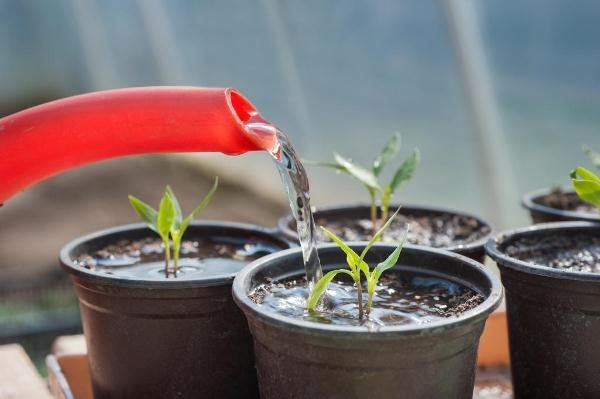 При поливе томата Бонсай запрещается использовать холодную воду