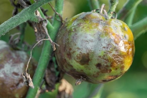 Одно из самых распространенных заболеваний томатов - фитофтороз