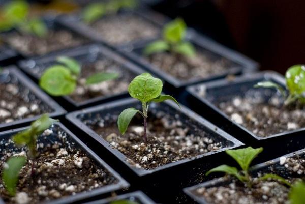 Как правильно в домашних условиях вырастить рассаду 70