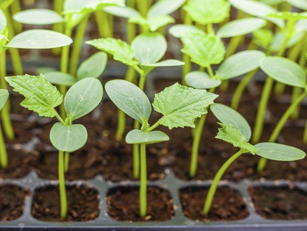 Рассаду высаживают в грунт когда она достигает длины 25 см