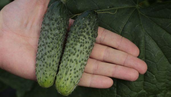 Сбор урожая огурцов Паратунка производится 1 раз в 2 дня