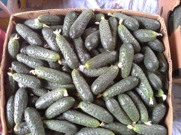 Сорт Паратунка обладает высокой урожайностью