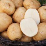 Сорт Белоснежка - среднеранний, не подвергается заражению