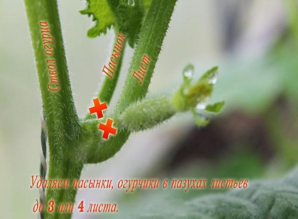 Правильное пасынкование чтобы получить урожайный куст