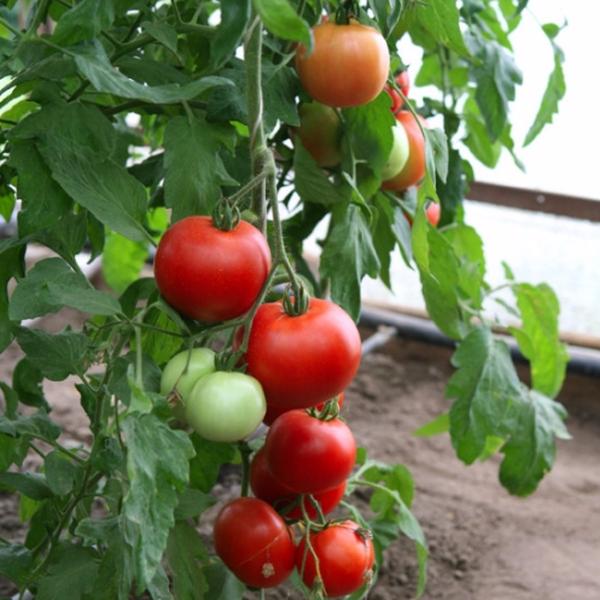 На Севере и в Сибири выращивание сорта возможно только в теплице