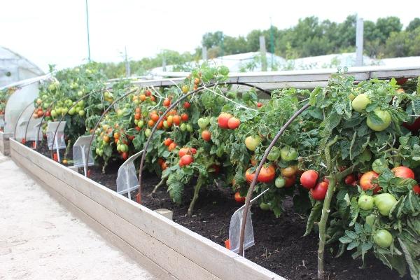 Выращивание помидоров в парнике