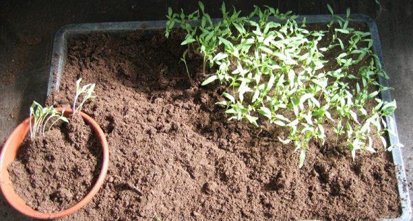 Для правильного развития рассады томата после появления двух листочков необходимо пикировать ростки