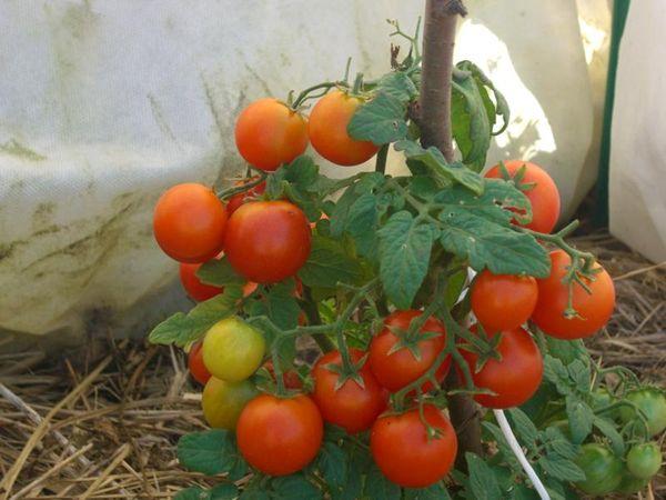 Кусты томата Пиноккио не превышают 35 см в высоту