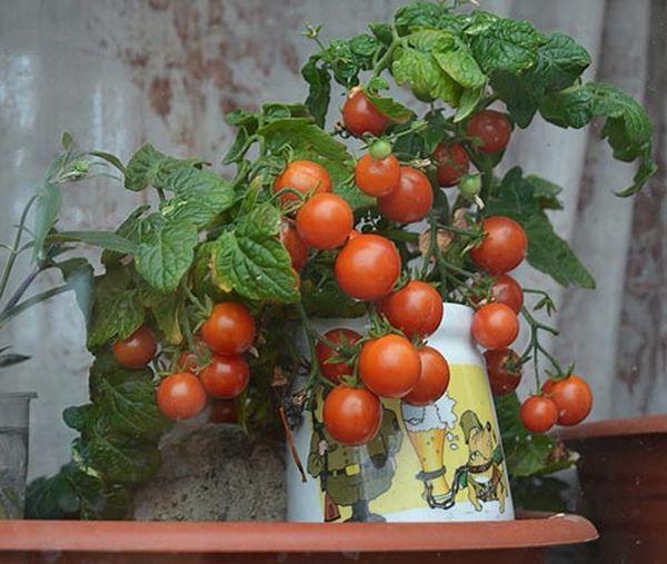 Рост и плодоношение возможны даже в домашних условиях или на балконе