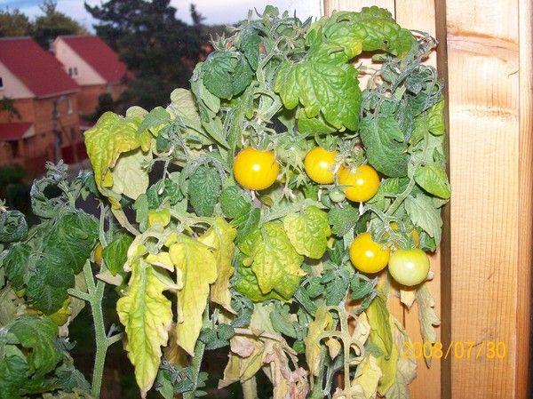 После созревания плодов куст начинает желтеть и сохнуть - это нормально