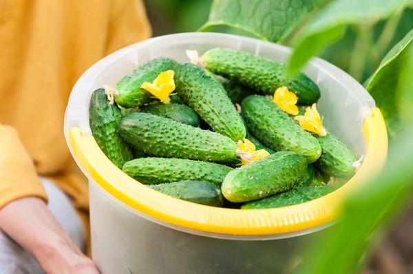 С помощью правильных подкормок можно увеличить урожайность и вкус огурцов