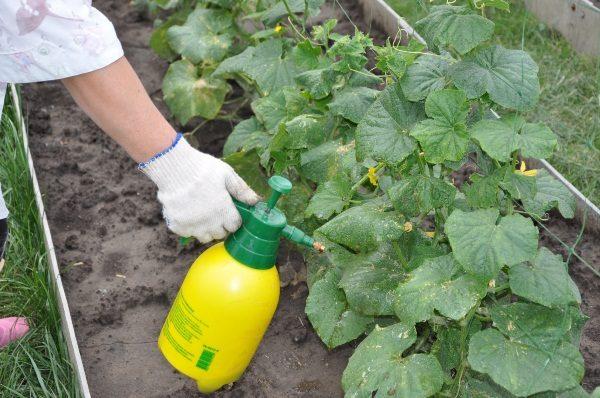 Горькими плоды огурцов могут быть из-за недостатка азота