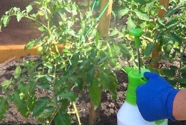 Получить максимальный урожай помидоров Розмарин поможет периодическая подкормка кустов удобрениями