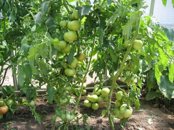 Полбиг созревает и начинает рано плодоносить даже при сравнительно низких температурах