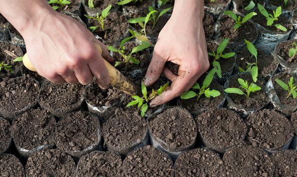 Пикирование рассады производится при появлении 2-3 настоящих листочков