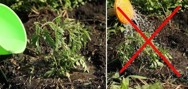 Поливать томаты нужно под корень