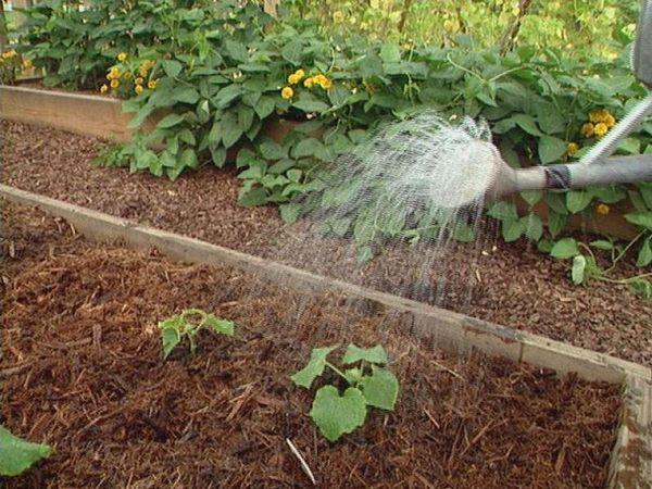 В открытом грунте огурцы лучше поливать во второй половине дня