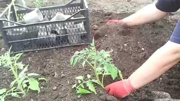 Высаживать рассаду помидор нужно рано утром или вечером