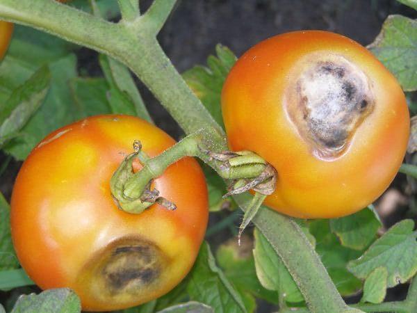 Признаки бурой гнили на плодах томата Чудо рынка