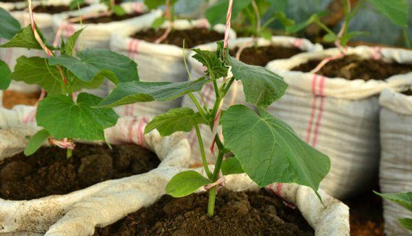 Способ выращивания в мешках помогает сэкономить место