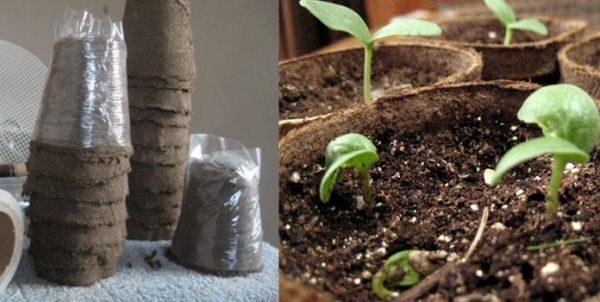 Выращивание рассады кабачков в торфяных горшочках