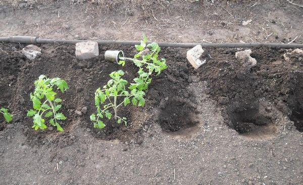 Пересадка саженцев помидоров в открытый грунт
