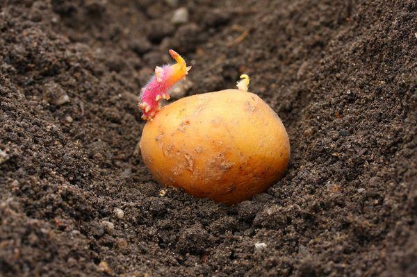 Посадка картофеля в Московской области