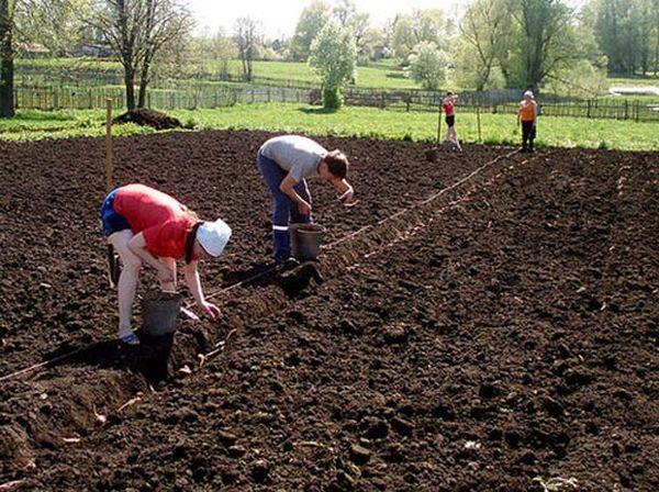 1-5 июня - крайний срок посадки картофеля в Подмосковье