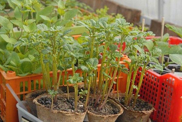 Семенная рассада из ростков картофеля