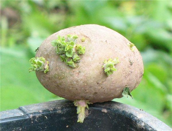 Почки глазков картофеля пробуждаются при температуре +5 градусов