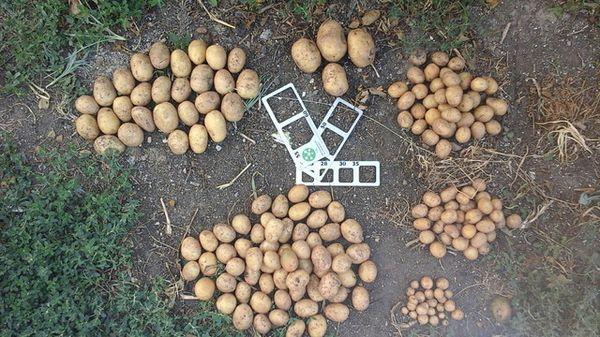 Картошке, высаженной без ростков, нужно больше времени на созревание