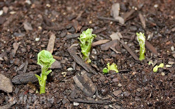 Первые листочки появляются позже при посадке ростками вниз