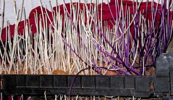 Если ростки длиной более 10 см - клубни непригодны для посадки