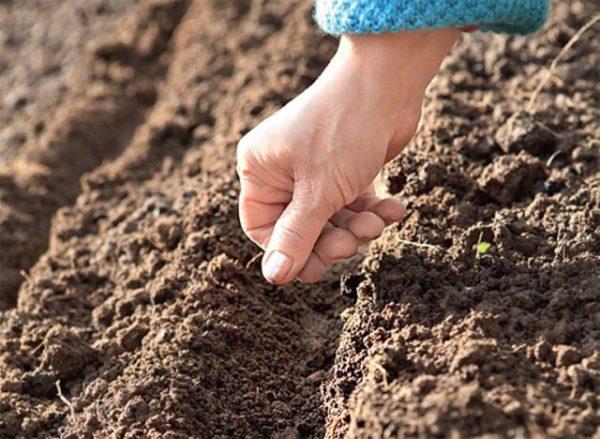 Подготовка почвы, посадка и выращивание свеклы