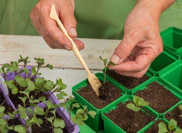 После появления двух настоящих листиков (обычно дней через 15) рассаду капусты Валентина пикируют