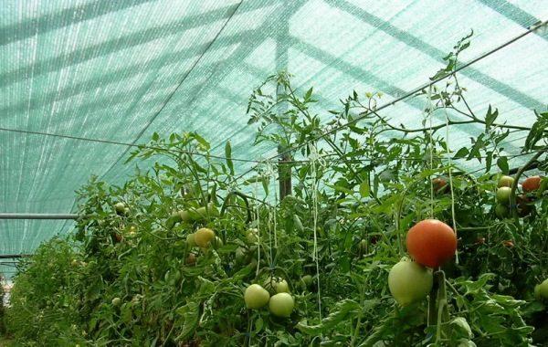 Защита томатов от солнца затеняющей сеткой